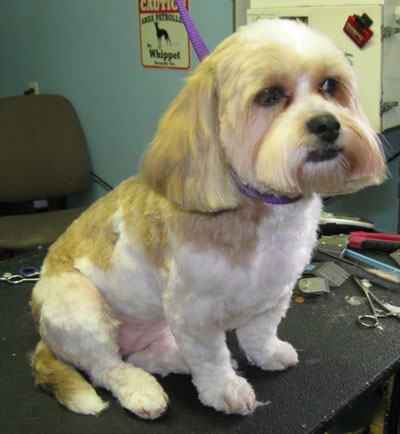 Before Amp After Photos Laurel S Pet Grooming