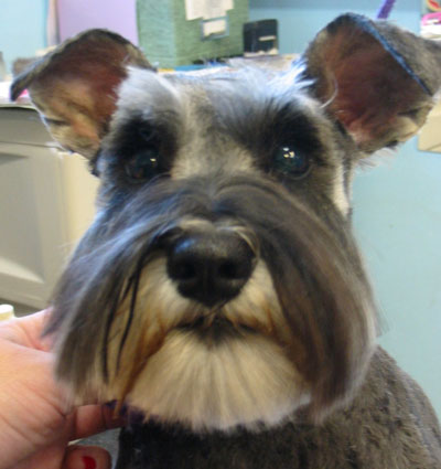Go Back > Gallery For > Schnauzer Haircuts