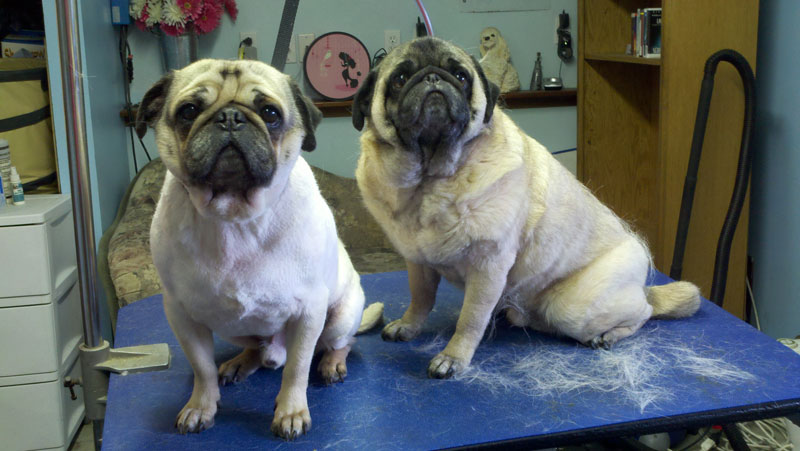shaved pug before after photos laurel s pet grooming 8732